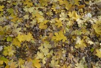 Yellow autumn leaves fallen on the ground