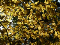 Branches of Hasel bush with yellow autumn leaves