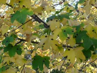 Yellow-green leaves with black spots