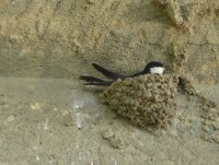 Swallow in a nest