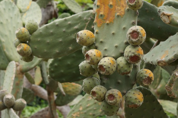 Cactus with fruits variation1