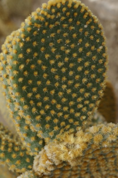 Cactus with short yellow thorns