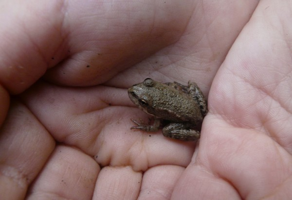 Very small forest frog