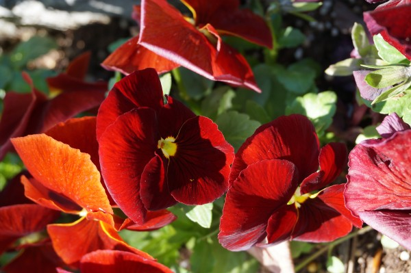 Red Pansy variation1
