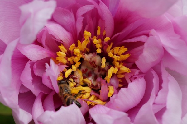 Pink Peony with a bee