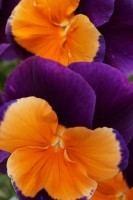 Violet and orange Pansy