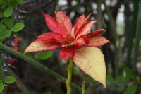 Red leaves blossom