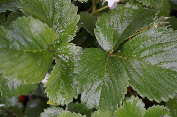 Strawberry leaves