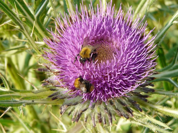 Bees on a thistle bloom