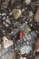 Ladybird on a stone
