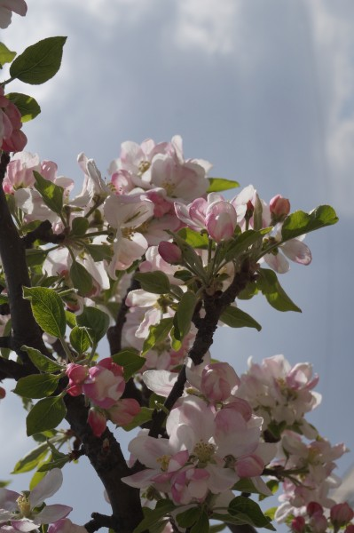Branch of blooming orchard tree