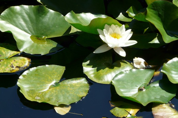 White water lily variation2
