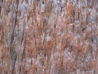 Red wood bark 1